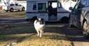 Australian Shepherd fetches the mail with great enthusiasm